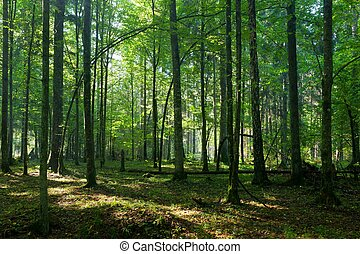 Deciduous stand of Bialowieza Forest in springtime morning...