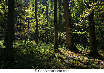Shady deciduous stand of Bialowieza Forest in summertime...