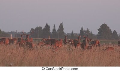 deer animals herd grown in fenced captivity field. 4K - deer...