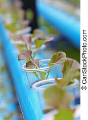 Young red batavia lettuce hydroponics vegetable farm in...