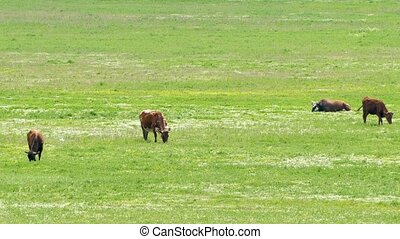 Dairy Cows Eating Grass On Pasture - This is a shot of...