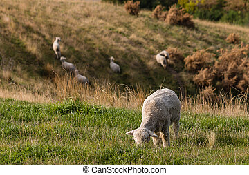 merino sheep grazing on grassy hill - closeup of merino...