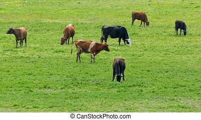 Group Of Cows On Grass In Green Field - Not numerous group...
