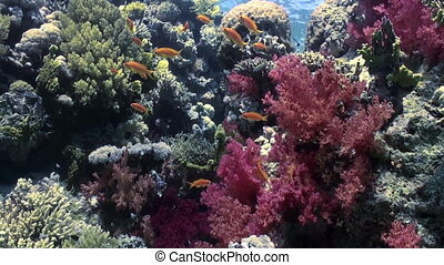 Beautiful red soft coral reef in tropical water - Beautiful...