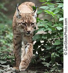 primer plano, retrato, eurasiático, lince, (Lynx,...