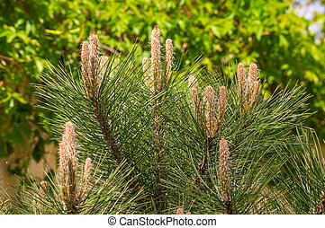 Fresh sprouts of Scots Pine floral background