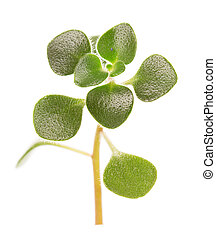 Sprig with green leaves houseplant isolated on white.