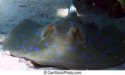 Blue Spotted Stingray on Coral Reef sandy bottom - Blue...