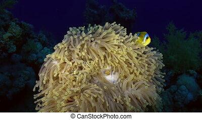Orange Clown fish swimmig in Sea Anemone at night - Bright...