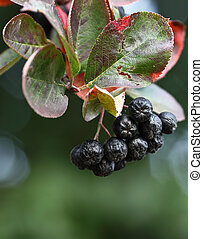 Black ashberry/ Black rowan /Black chokeberry (Aronia...