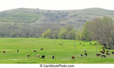 Group Of Cows Grazing In Hilly Area - AERIAL SHOT Numerous...