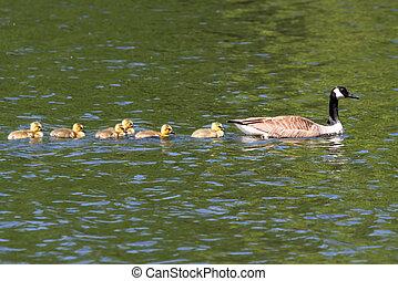 Canada Goose (Branta canadensis) with Babies - Canada Goose...