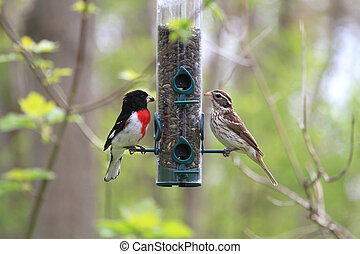 Rose-breasted Grosbeak male female - Rose-breasted Grosbeak...