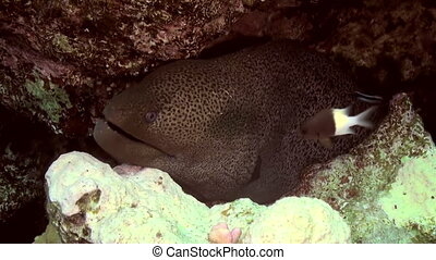 Cleaner wrasse fish cleaning moray eel on reef - Giant Moray...