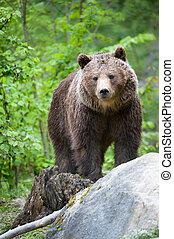 brązowy, Niedźwiedź