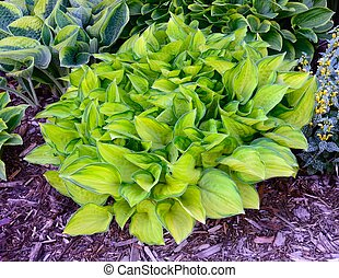 Green and Gold Variegated Hosta, Hostas are Perennial Plants...