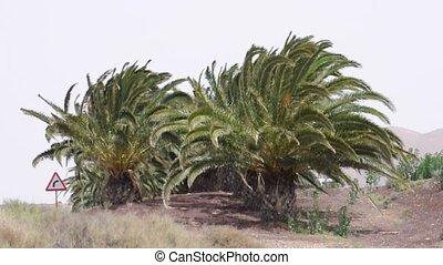 Canary Island Date Palm Tree