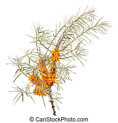 Branch of sea-buckthorn with ripe berries isolated on white...