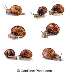 Snails, garden snail collection Snails Helix pomatia...