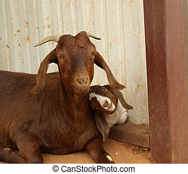 Boer Goat and Her Kid - Brown Boer goat with her 2 week old...