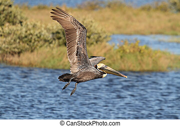 Brown Pelican In Flight - Brown Pelican Pelecanus...