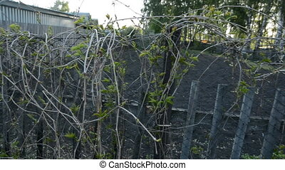 Shrub with long branches on the old fence.