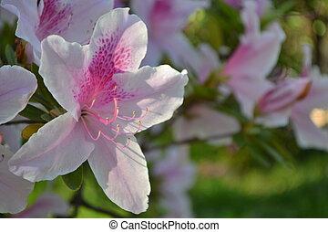 Flor rosada japonesa - Flores rosadas y blancas japonesas