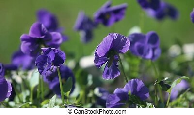 pansy flowers macro shot zoom out - blue pansy flowers macro...