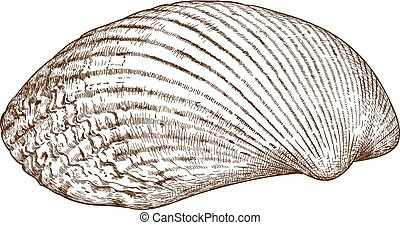 engraving illustration of clam shel - Vector antique...