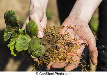 Woman show roots of strawberry bush in garden