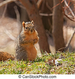 Fox Squirrel, Sciurus niger - Fox squirrel, Sciurus niger,...