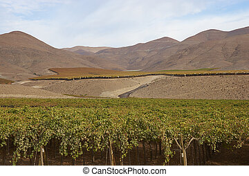 Vineyard in the Atacama Desert, Copiapo, Chile
