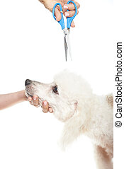 dog hair cut - french poodle dog getting a hair cut on white...