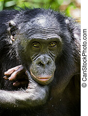The close-up portrait of Bonobo in natural habitat. Green...