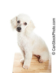 poddle sitting on table - white french poodle female dog...