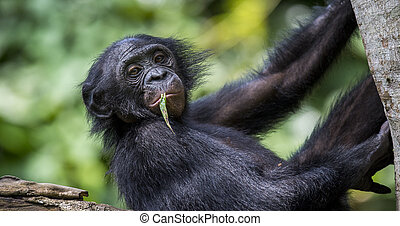 The close-up portrait of juvenile Bonobo Pan paniscus on the...