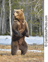 Brown bear (Ursus arctos) standing on his hind legs in...