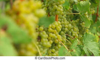 White grapes bunches - Bunches of white wine grapes hang...