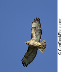 Red-tailed hawk in the sky.