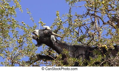 Goat feeding on argan tree close up - Close up of black...