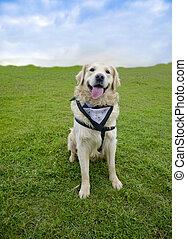 Smiling Dog Golden Retriever