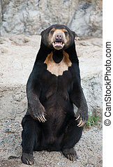 malayan sun bear sit on the rock