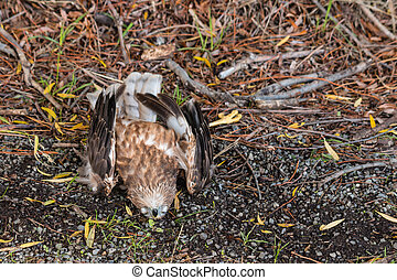 New Zealand falcon - roadkill - closeup of dead falcon lying...