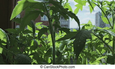 Spraying the plants with water. Seedlings of tomato on...