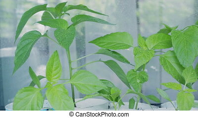 Seedlings of pepper on window sill. - Seedlings of pepper on...