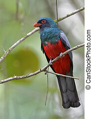 Male Slaty-tailed Trogon - Panama - Male Slaty-tailed Trogon...