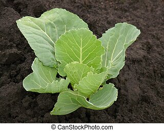 cabbage in a flower-bed