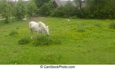 old white horse grazing on a grassy meadow, countryside...