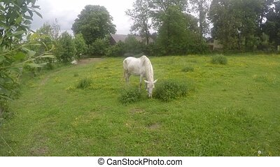 old white horse grazing on a grassy