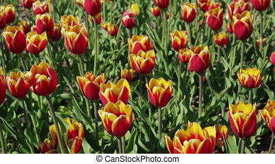 Beautiful flower bed with red yellow tulips. Spring...